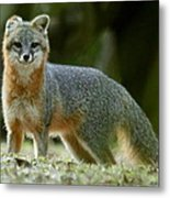 Gray Fox On Alert Metal Print