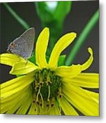 Gray Hairstreak Butterfly Metal Print