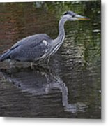 Gray Heron And Reflection Metal Print