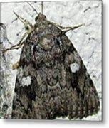 Gray Owlet Moth Metal Print