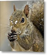 Gray Squirrel - D008392  Metal Print