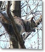 Gray Squirrel Nibbling  Metal Print