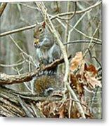 Gray Squirrel - Sciurus Carolinensis Metal Print