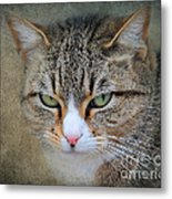 Gray Tabby Cat Metal Print by Jai Johnson