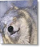Gray Wolf Canis Lupus Shaking Snow Off Metal Print