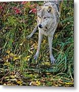 Gray Wolf Drinking Metal Print