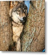 Gray Wolf In Tree Canis Lupus Metal Print