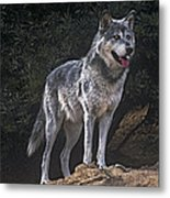 Gray Wolf On Hillside Endangered Species Wildlife Rescue Metal Print
