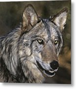 Gray Wolf Portrait Endangered Species Wildlife Rescue Metal Print