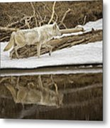 Gray Wolf Reflection Metal Print