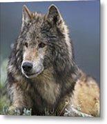 Gray Wolf Resting North America Metal Print