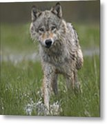 Gray Wolf Walking Through Water Metal Print