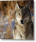 Gray Yearling Metal Print