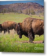 Grazing Bison Metal Print