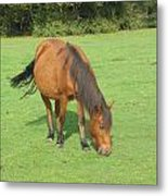 Grazing Chestnut Pony Metal Print
