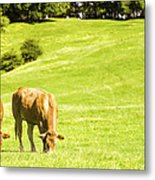 Grazing Cows Metal Print