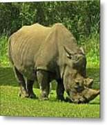 Grazing Rhino Metal Print