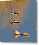 Grazing Stilts Metal Print