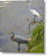 Great Blue And White Egrets Metal Print