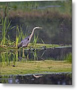 Great Blue Heron At Down East Maine Wetland Metal Print