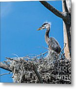 Great Blue Heron Chick Metal Print