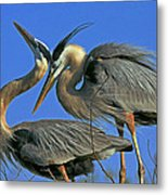 Great Blue Heron Courting Pair Metal Print