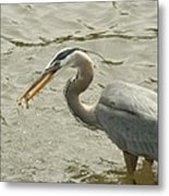 Great Blue Heron Fishing Metal Print