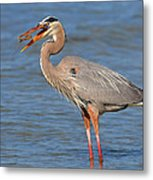Great Blue Heron Flipping A Shrimp Metal Print