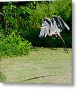 Great Blue Heron In Flight 6 Metal Print