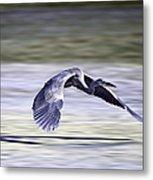 Great Blue Heron In Flight Metal Print