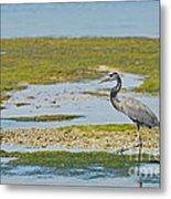 Great Blue Heron In Florida Metal Print