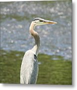 Great Blue Heron In Light  Metal Print