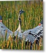 Great Blue Heron Landing Metal Print
