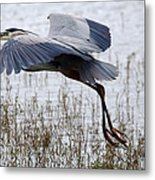 Great Blue Heron Landing Series 3 Metal Print