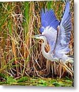 Great Blue Heron Lift Off Metal Print