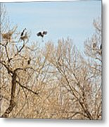 Great Blue Heron Nest Building 1 Metal Print