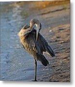 Great Blue Heron Preening On The Beach Metal Print