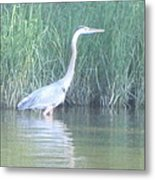 Great Blue Heron Reflecting Metal Print