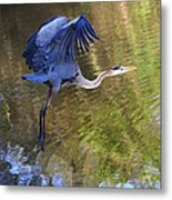 Great Blue Heron Taking Off Metal Print
