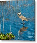 Great Blue Heron Wading Metal Print