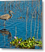 Great Blue Heron Wading II Metal Print