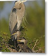 Great Blue Heron With Chicks Florida Metal Print