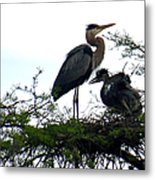 Great Blue Heron With Fledglings II Metal Print