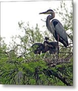 Great Blue Heron With Fledglings Metal Print