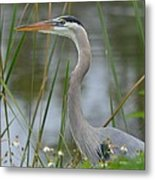 Great Blue In The Reeds Metal Print