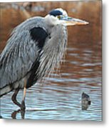 Great Blue Metal Print by Thomas Pettengill