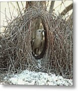 Great Bowerbird Male In Bower Australia Metal Print