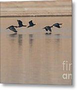 Great Cormorant In Flight Metal Print