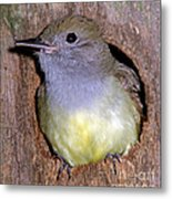Great Crested Flycatcher In Nest Cavity Metal Print