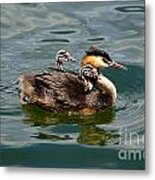 Great Crested Grebe Metal Print